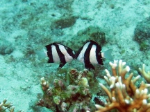 Coral fish mating